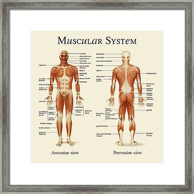 Muscular System Framed Print by Gina Dsgn