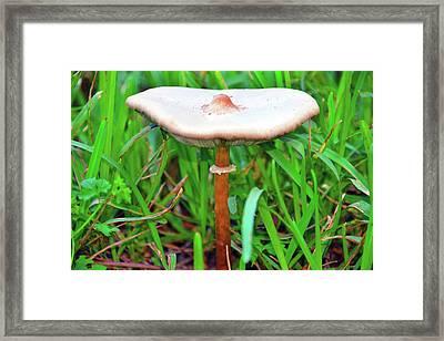 Mushroom In Central Florida Grassland Framed Print by David Lee Thompson