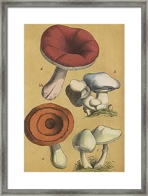 Mushrooms Vintage Drawing Framed Print by German Botanical artist