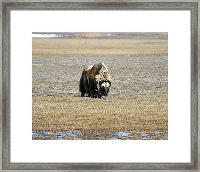 Musk Ox Grazing Framed Print by Anthony Jones
