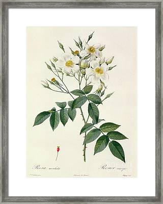 Musk Rose Framed Print by Pierre Joseph Redoute
