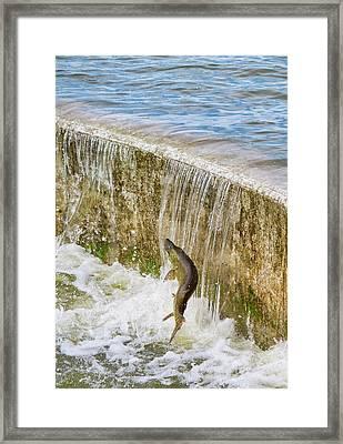 Muskie - Lake Wingra - Madison - Wisconsin Framed Print