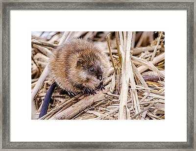 Framed Print featuring the photograph Muskrat Ball by Steven Santamour