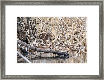 Muskrat Eating A Fish Framed Print