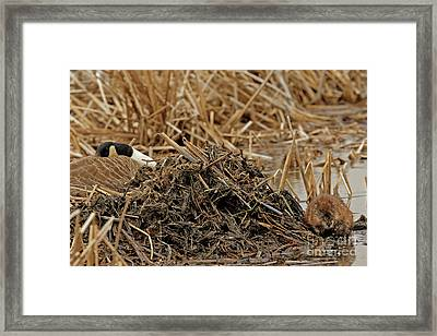 Muskrat With Sleeping Neighbor Framed Print by Natural Focal Point Photography