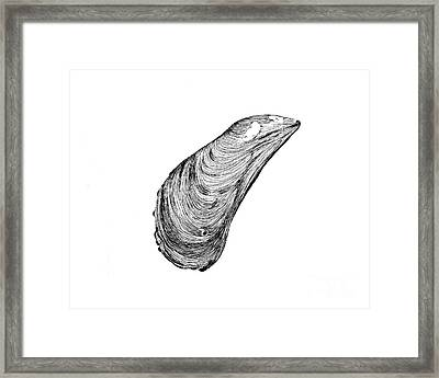 Mussel Shell Framed Print by Jeff Greiner