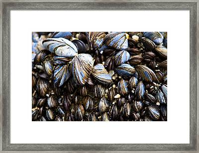 Mussels Framed Print by Justin Albrecht