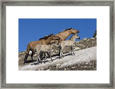 Mustangs On Snow Framed Print by Jean-Louis Klein & Marie-Luce Hubert