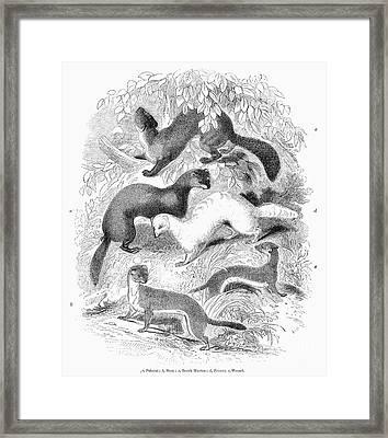 Mustelidae Family, 1841 Framed Print