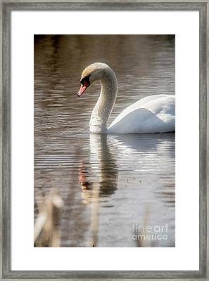 Framed Print featuring the photograph Mute Swan - 2 by David Bearden