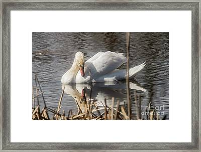 Framed Print featuring the photograph Mute Swan - 3 by David Bearden