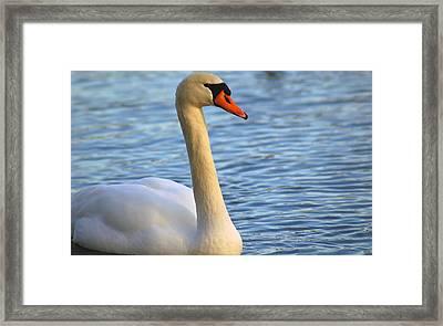 Mute Swan 3 Framed Print by Mark Platt