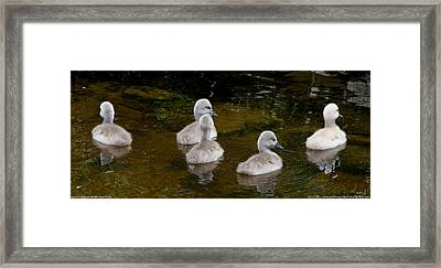 Mute Swan Babes Framed Print