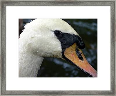 Mute Swan Close-up Framed Print by Al Powell Photography USA