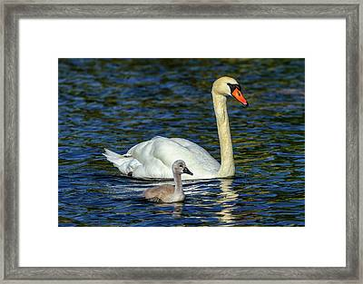 Mute Swan, Cygnus Olor, Mother And Baby Framed Print