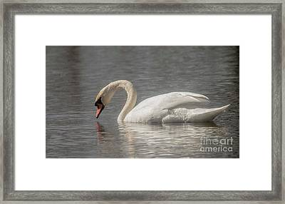 Framed Print featuring the photograph Mute Swan by David Bearden