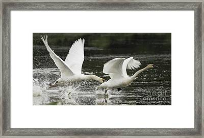 Mute Swan Intimidation Framed Print