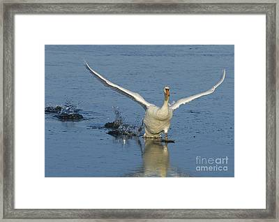Mute Swan Framed Print by Steen Drozd Lund