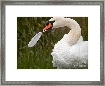 Mute Swan With Feather Framed Print