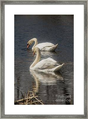 Framed Print featuring the photograph Mute Swans by David Bearden