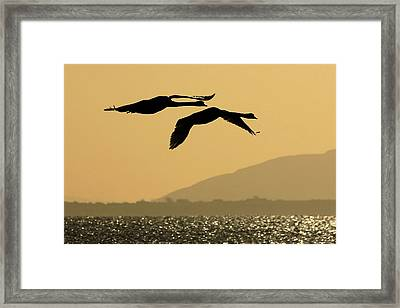 Mute Swans In Flight In Galway Ireland Framed Print by Pierre Leclerc Photography