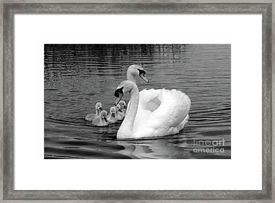 Mute Swans Framed Print