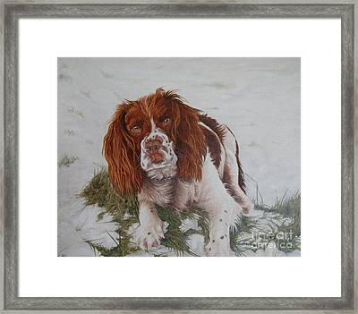 Muttley-the Best Springer Spaniel Framed Print by Pauline Sharp