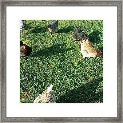 My Beautiful Chicken Ladies Billary Framed Print