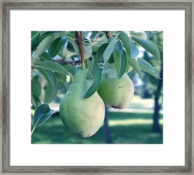 My Brothers Pear Tree Framed Print by Wayne Potrafka