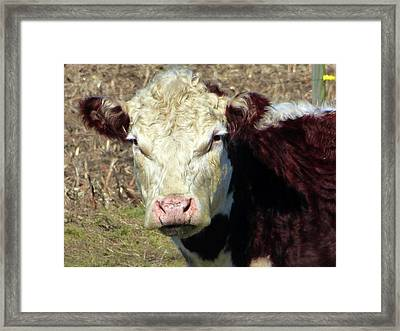 My Favorite Cow Framed Print by Tina M Wenger