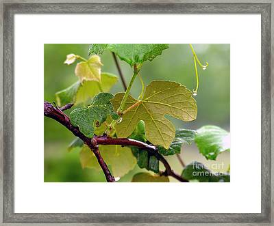 My Grapvine Framed Print by Robert Meanor