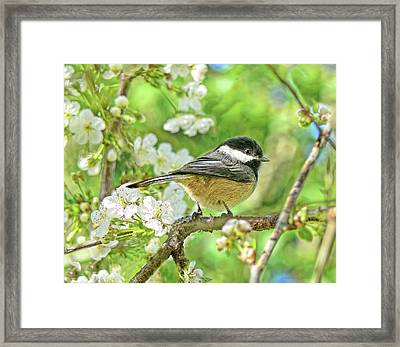 My Little Chickadee In The Cherry Tree Framed Print