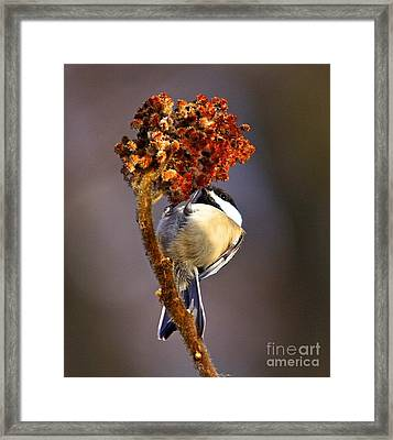 My Little Chickadee Framed Print by Robert Pearson