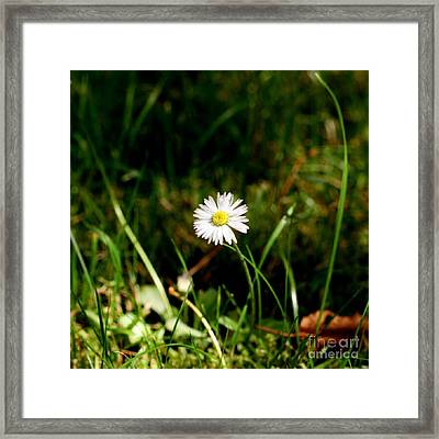 My Little Daisy Framed Print by Isabella F Abbie Shores FRSA
