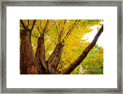 My Maple Tree Framed Print by James BO  Insogna