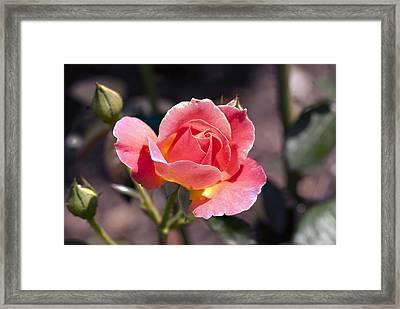 My Rose Framed Print