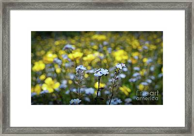 Myosotis With Yellow Flowers Framed Print