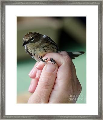 Myrtle Warbler Framed Print by Jennifer Booher