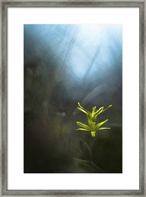 Mysterious Gagea Flowers In The Grass Framed Print by Olga Vityuk