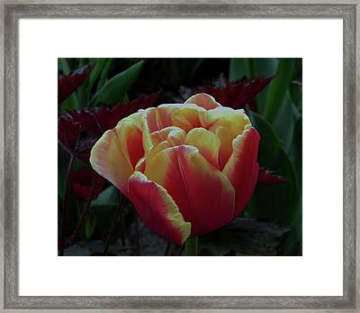 Framed Print featuring the photograph Mysterious Tulip by Manuela Constantin