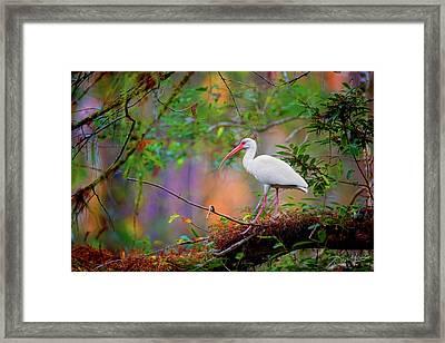 Mystical White Ibis Framed Print