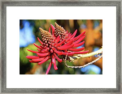 Naked Coral Tree Flower Framed Print