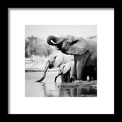 Baby Elephant Framed Prints