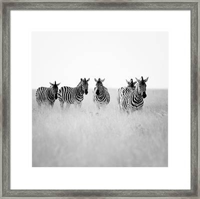 Namibia Zebras II Framed Print by Nina Papiorek