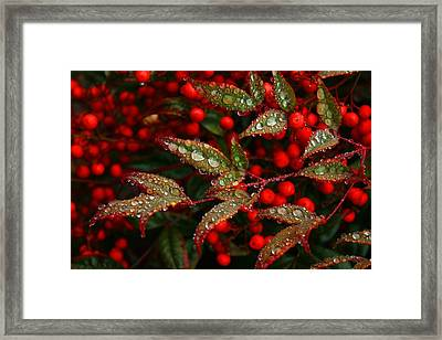 Nandinas In The Rain Framed Print