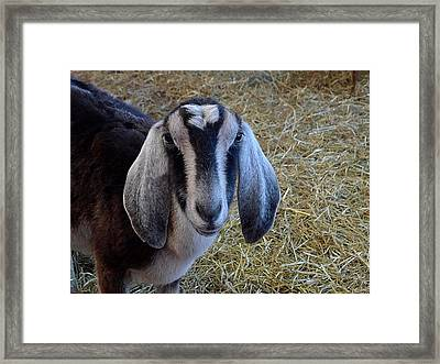 Nanny Goat Framed Print by Richard Reeve