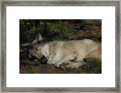 Nap Time Framed Print by Curtis Gibson