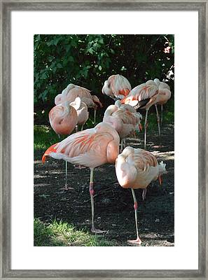 Nap Time Flamingos Framed Print