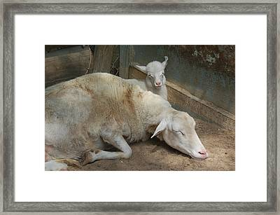 Nap Time Framed Print by Suzanne Gaff