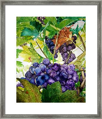 Napa Harvest Framed Print